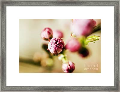 Pink Buds Framed Print