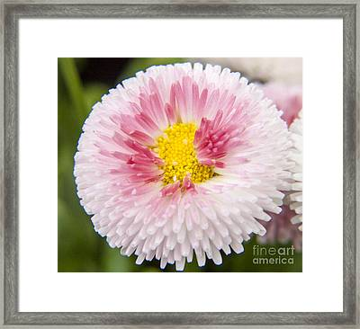 Pink Button Flower Framed Print by Darleen Stry