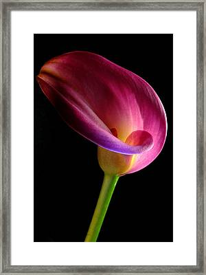 Pink Calla Lily Framed Print by Dung Ma