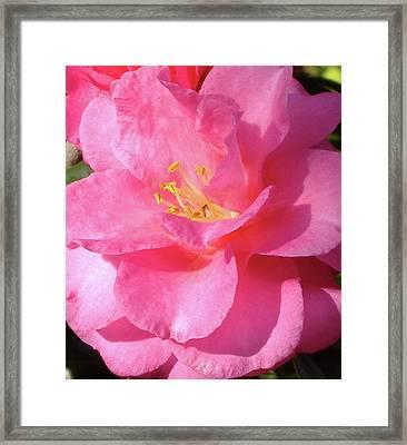 Pink Camelia Framed Print