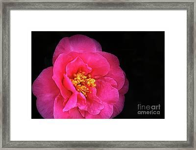 Pink Camellia Framed Print by Judi Bagwell