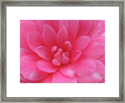 Pink Camellia Framed Print by Juergen Roth