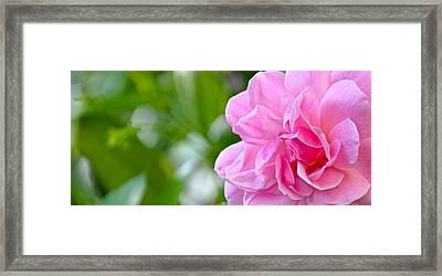Pink Camellia Framed Print by Lori Kesten