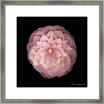 Pink Camellia Framed Print by Richard Wilhelm