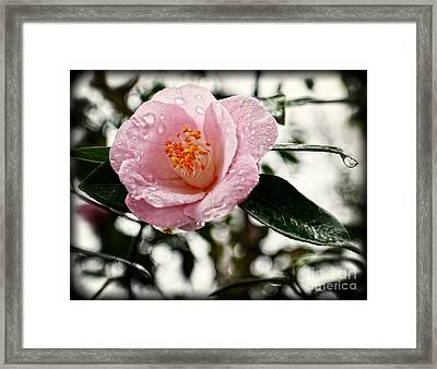 Pink Camellia With Raindrops Framed Print by Eva Thomas