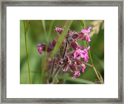 Pink Campion In August Framed Print