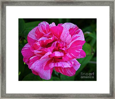 Pink Candy Stripe Rose Framed Print