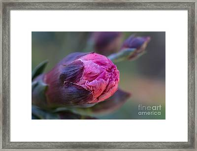 Pink Carnation Bud Close-up Framed Print