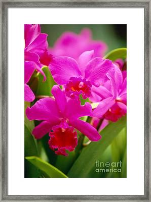 Pink Cattleya Orchids Framed Print by Allan Seiden - Printscapes