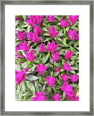 Pink Celosia Flowers Framed Print