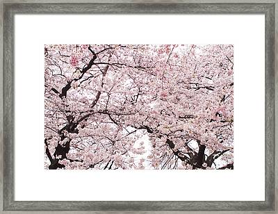 Pink Cherry Blossom Tree Framed Print by Ariane Moshayedi