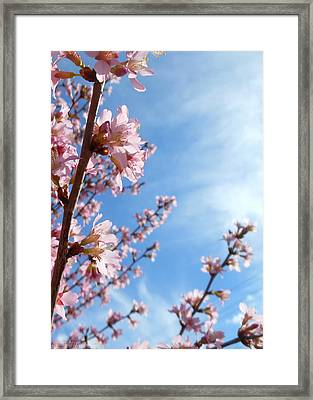 Pink Cherry Blossoms Branching Up To The Sky Framed Print