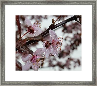 Pink Cherry Ice Framed Print by Toni Jackson