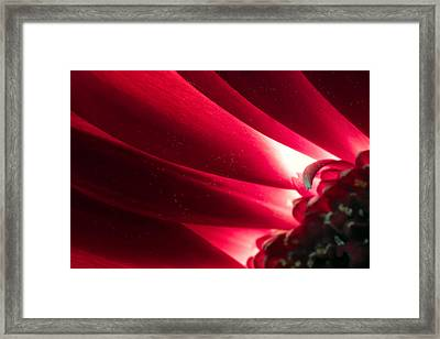 Pink Chrysanthemum Flower Petals  In Macro Canvas Close-up Framed Print