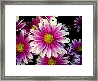 Pink Chrysanthemums Framed Print