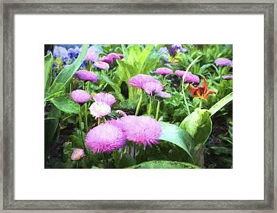 Pink Chrysanthemums In Monets Garden  Framed Print by David Smith