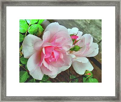 Framed Print featuring the photograph Pink Cluster Of Roses by Janette Boyd