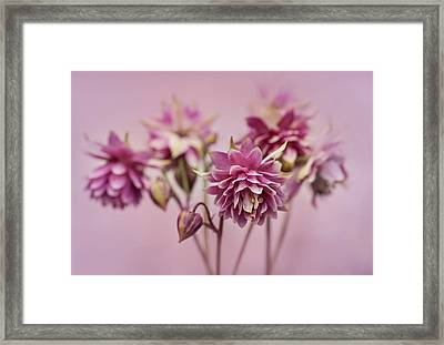 Pink Columbines Framed Print
