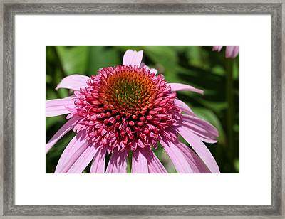 Pink Coneflower Close-up Framed Print