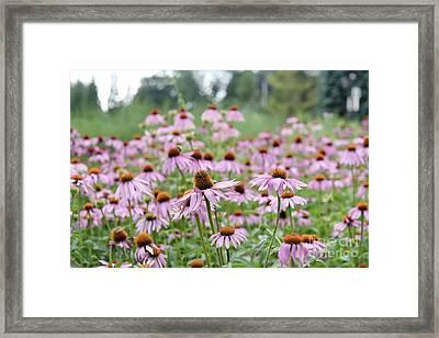 Pink Coneflowers Framed Print by Yoko Maria