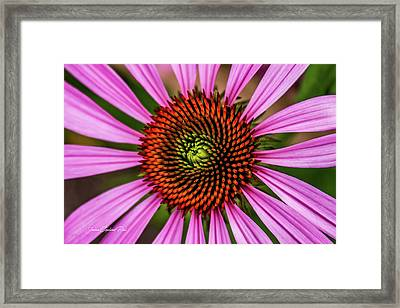 Framed Print featuring the photograph Pink Cornflower by Joann Copeland-Paul