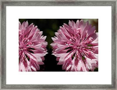 Pink Cornflowers Framed Print