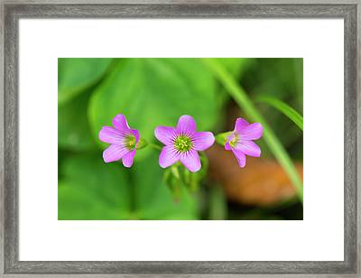 Pink Coronets Framed Print