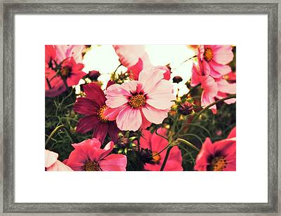 Pink Cosmos Framed Print by Cathie Tyler