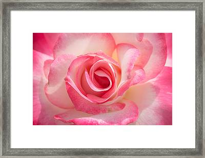 Pink Cotton Candy Rose Framed Print