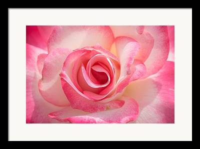 Pink And White Roses Framed Prints