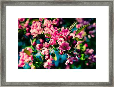 Framed Print featuring the photograph Pink Crab Apple Flowers by Alexander Senin