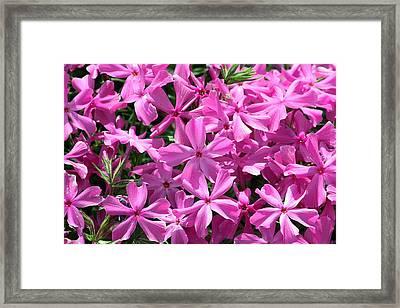 Pink Creeping Phlox Framed Print by Sheila Brown