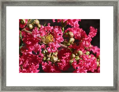 Framed Print featuring the photograph Pink Crepe Myrtle Flowers by Debi Dalio
