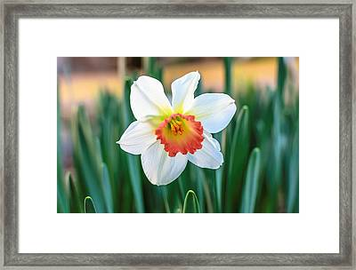 Pink Cup Solo Daffodil Framed Print