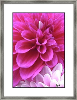 Pink Dahlia Framed Print by Peggy Dietz