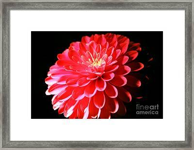 Pink Dahlia1 Framed Print