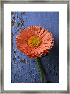 Pink Daisy Against Blue Wall Framed Print by Garry Gay