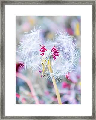 Pink Dandelion Framed Print by Parker Cunningham