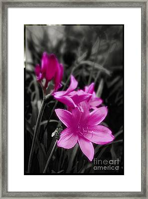 Pink Day Lily Framed Print by Mindy Sommers