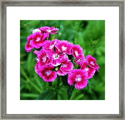 Pink Dianthus Framed Print by Cathie Tyler