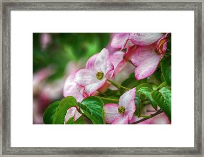 Framed Print featuring the photograph Pink Dogwood by Bonnie Bruno