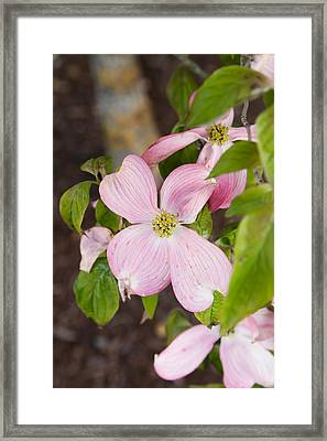 Pink Dogwood Framed Print