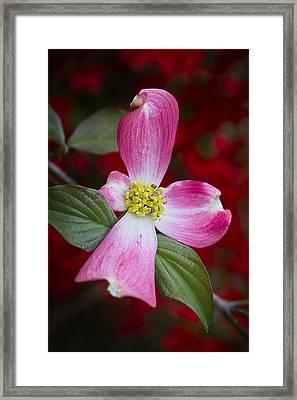 Framed Print featuring the photograph Pink Dogwood by Ken Barrett