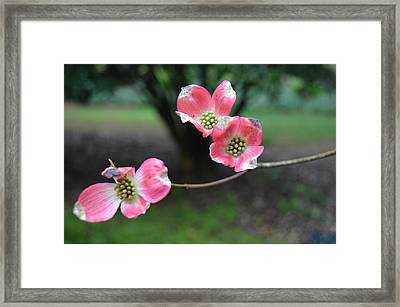 Framed Print featuring the photograph Pink Dogwood by Linda Geiger