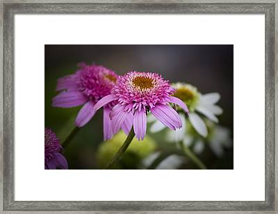 Pink Double Delight Coneflower Framed Print by Teresa Mucha