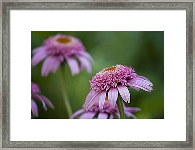 Pink Double Delight Framed Print by Teresa Mucha