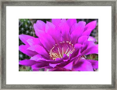 Framed Print featuring the photograph Pink Echinopsis Bloom  by Saija Lehtonen