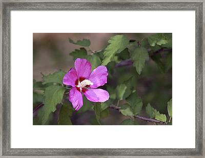 Pink Embossed Hibiscus Framed Print by Linda Phelps