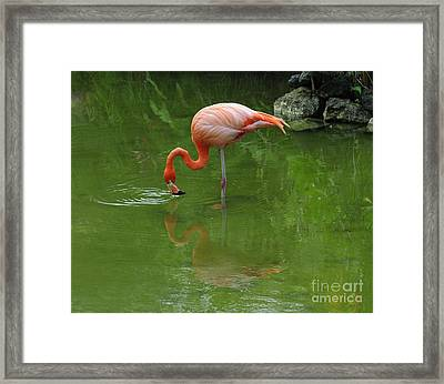 Pink Flamingo Framed Print by Cindy Lee Longhini