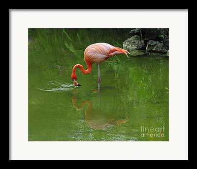 Pink Flamingo Feeding In Pond With Reflection And Ripples In Water Framed Prints